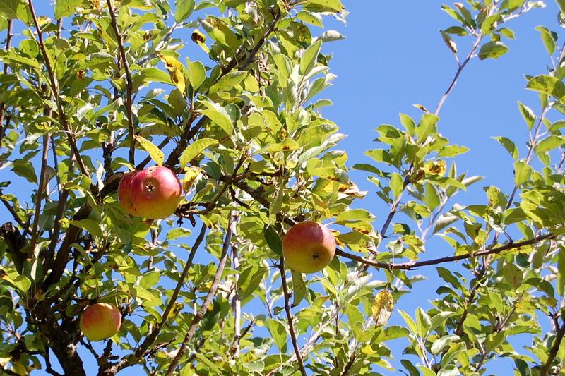 pommes-002